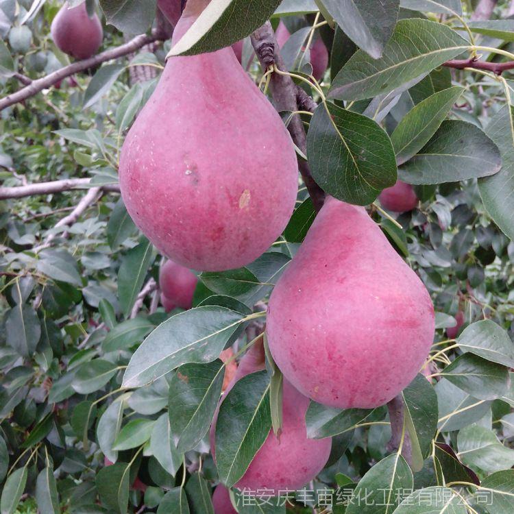 批发黑色梨苗 种植盆栽 意大利黑梨果树苗 优质嫁接梨树苗 产量高