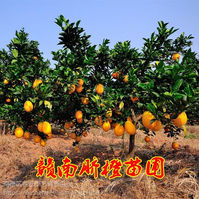 江西赣南脐橙树苗 果树苗嫁接苗 红肉脐橙血橙树苗 橙子树苗原产地