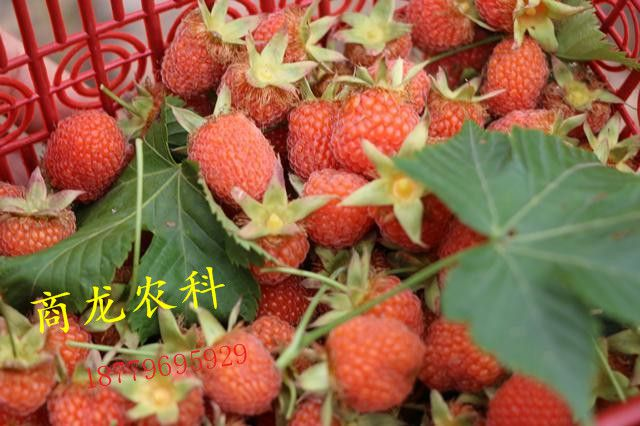 掌叶覆盆子红树莓种苗批发