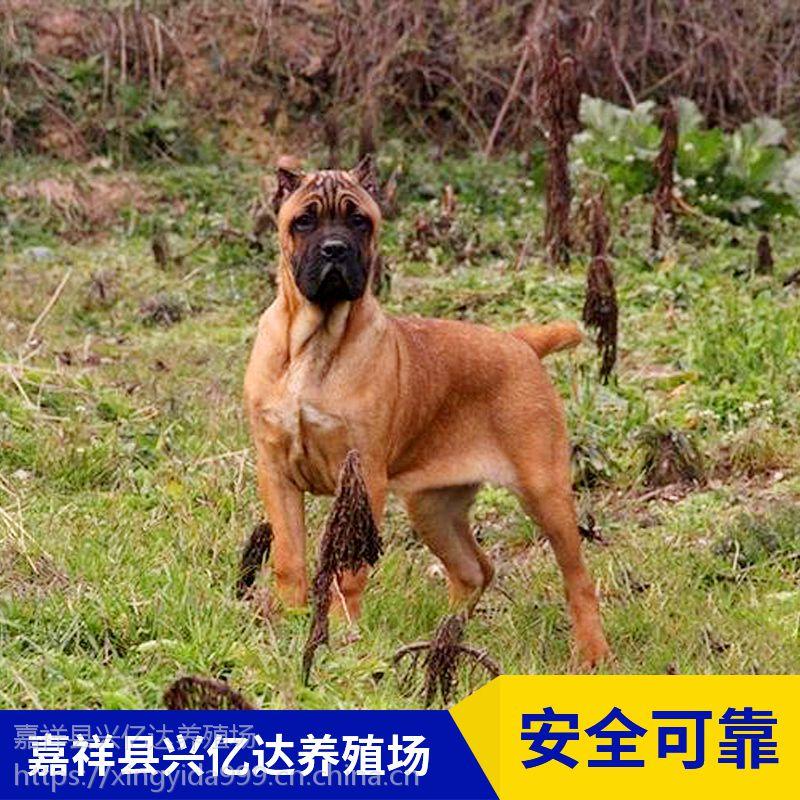 嘉祥县兴亿达纯种卡斯罗犬护卫犬养殖场直销