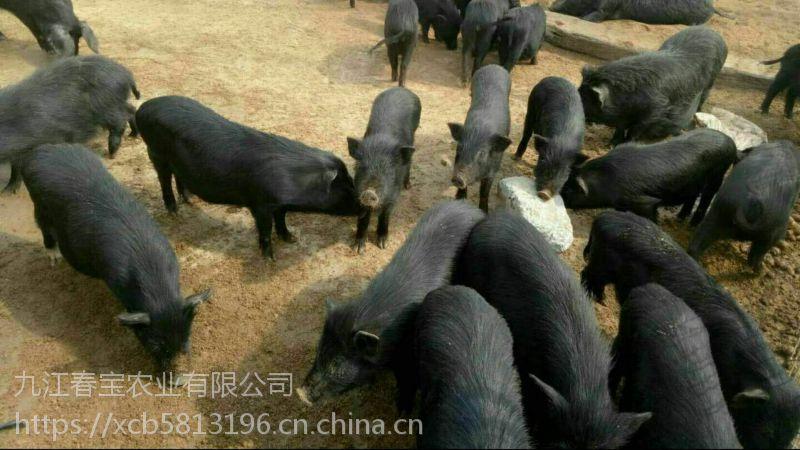 安徽黄山市放养100头藏香猪厂房怎么建设