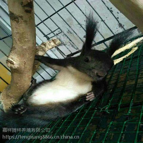 松鼠幼鼠哪里有卖魔王松鼠的