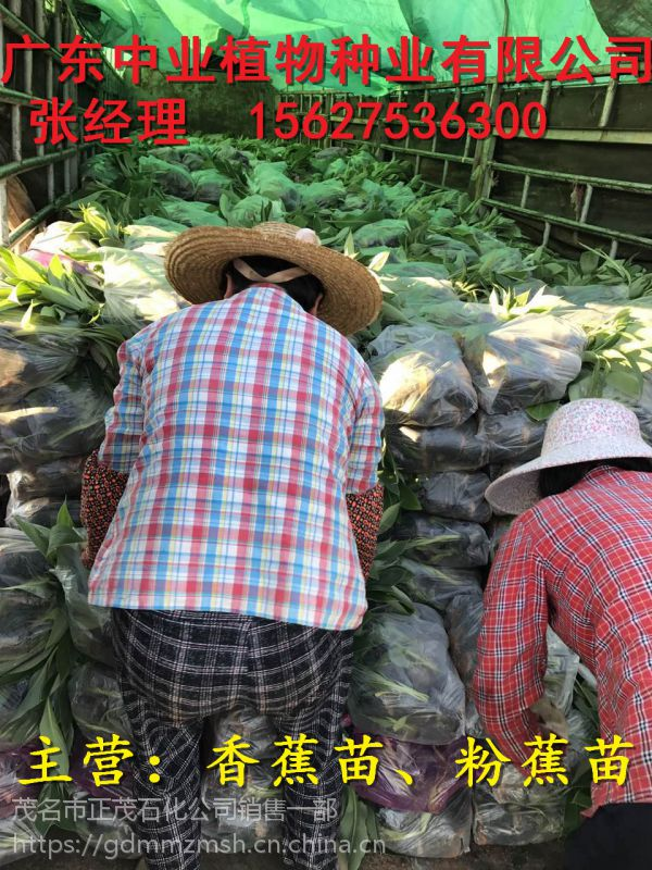 哪里批发粉蕉苗|海南粉蕉苗|茂名大型粉蕉育苗基地场
