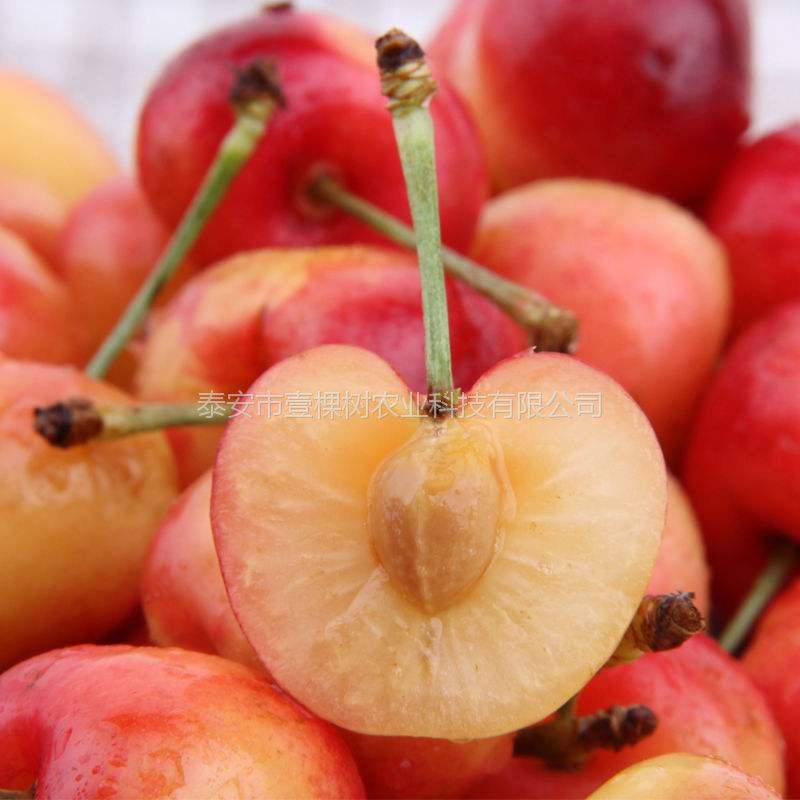 1公分矮化樱桃苗价格
