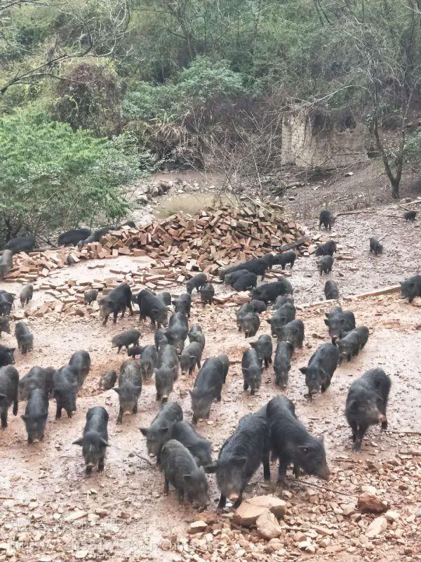 安徽安庆哪里有养藏香猪的