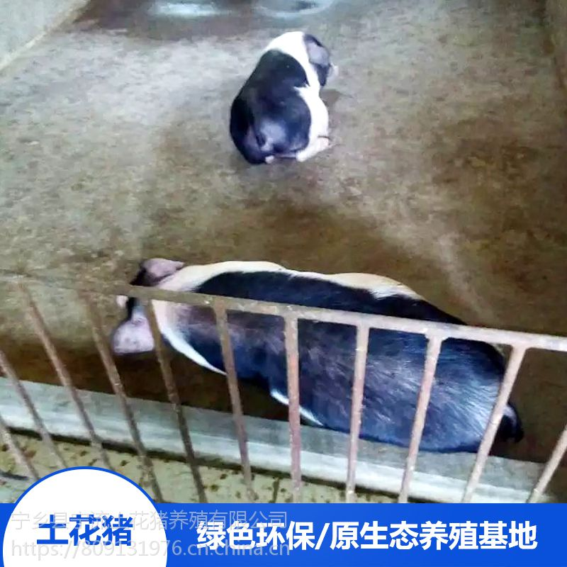 湖南宁乡县名猪健康活体备孕母猪农家怀孕猪养殖基地价格