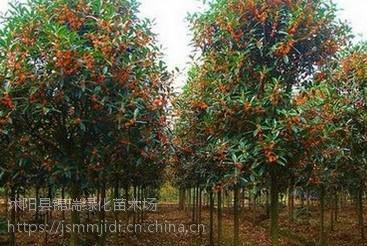 江苏桂花树基地 抛售2-3-4-5-6公分精品桂花树