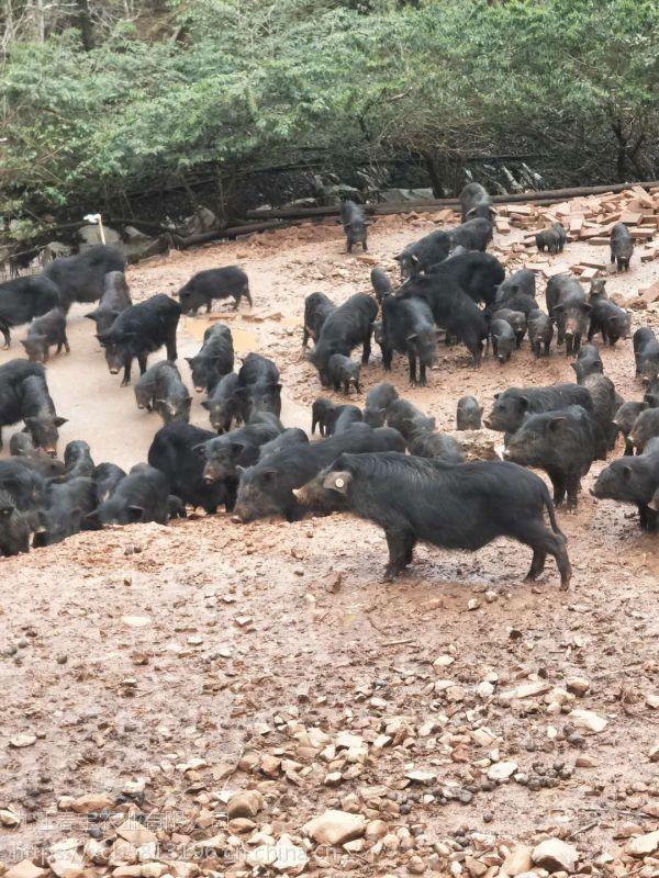 藏香猪好吃吗?哪里的藏香猪品质?
