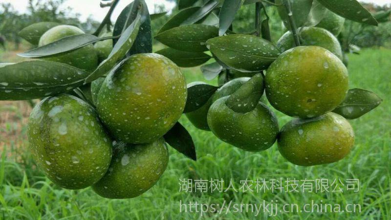 供应特早熟柑橘苗大分一号 大分四号等柑橘苗纯度高质量优