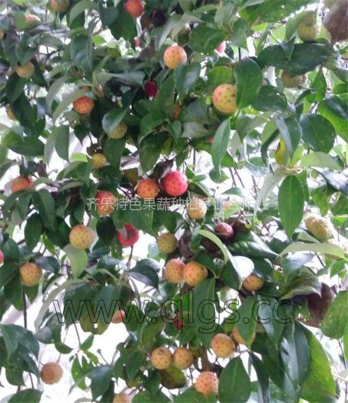 热销种苗 四照花果石枣 野荔枝 种苗种植