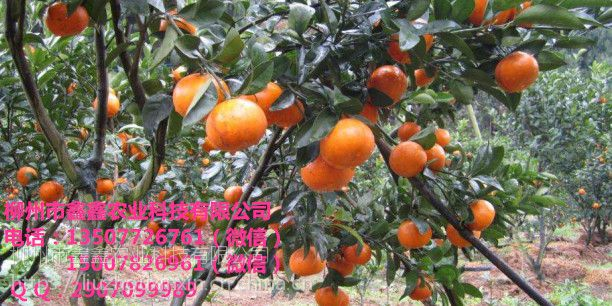 梧州改良茂谷柑杯苗出售&梧州目前改良茂谷柑杯苗价格多少钱一棵