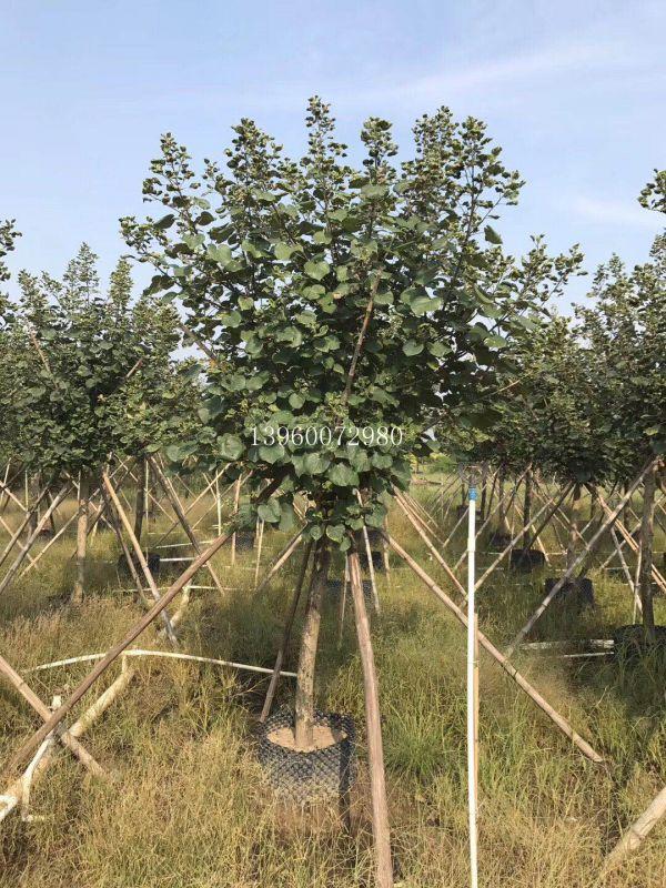 贵州高度4米黄槿假植苗,贵州黄槿袋苗现挖现卖