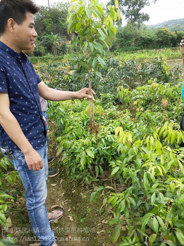 龙岩糯米糍荔枝苗批发 南方种植当年结果 15777793411