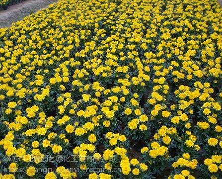 青州孔雀草种植基地;孔雀草价格批发采购@江瑞园艺