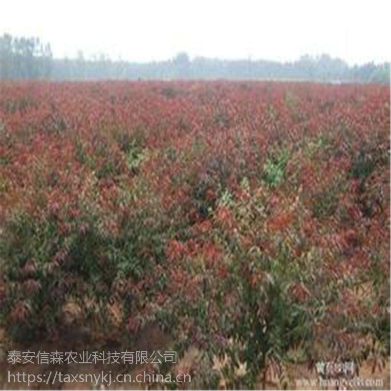 信森农业科技嫁接碧桃树供应 6厘米碧桃树供应价格 量大从优