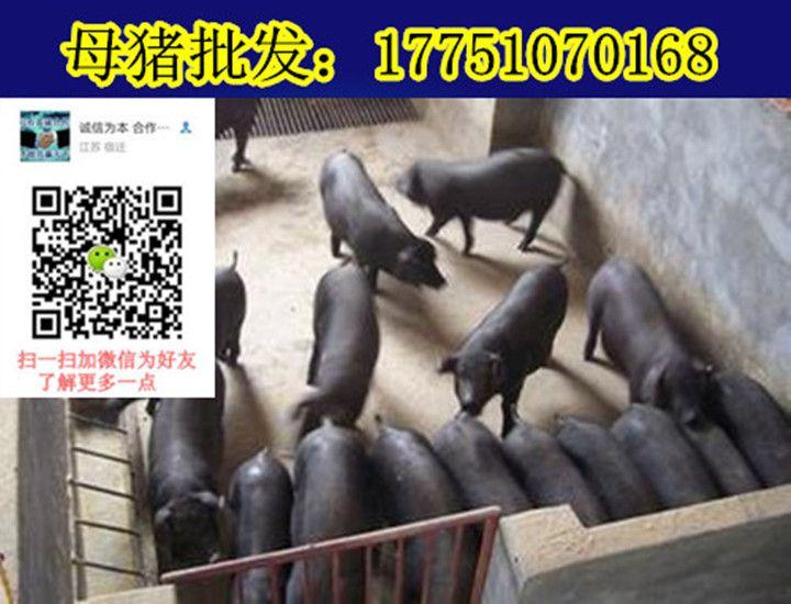 小猪仔50斤多少钱一头小猪价格走向