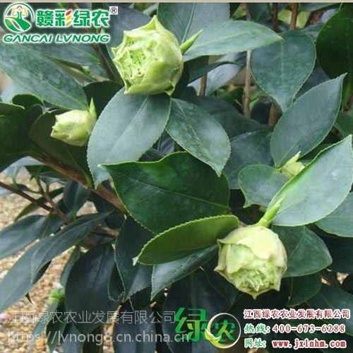 批发绿可娜茶花 四季常青 适合南北种植 山茶种植管理 一个月内包活