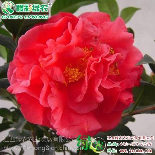 江西克瑞墨大牡丹(浓香) 四季常绿茶花 山茶花种植技术 克瑞墨大牡丹图片