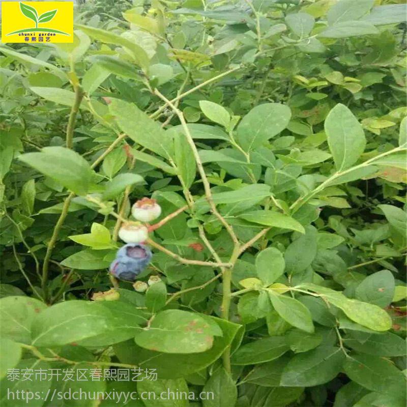 二年三年生蓝莓苗 南高丛 南北方适合种植 规格多 品种齐全 欢迎前来选购 1公分奥尼尔蓝莓苗