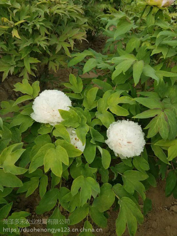 观赏牡丹、1-10分枝牡丹花苗、菏泽牡丹价格