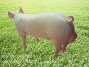 鄂美PIC196终端公猪