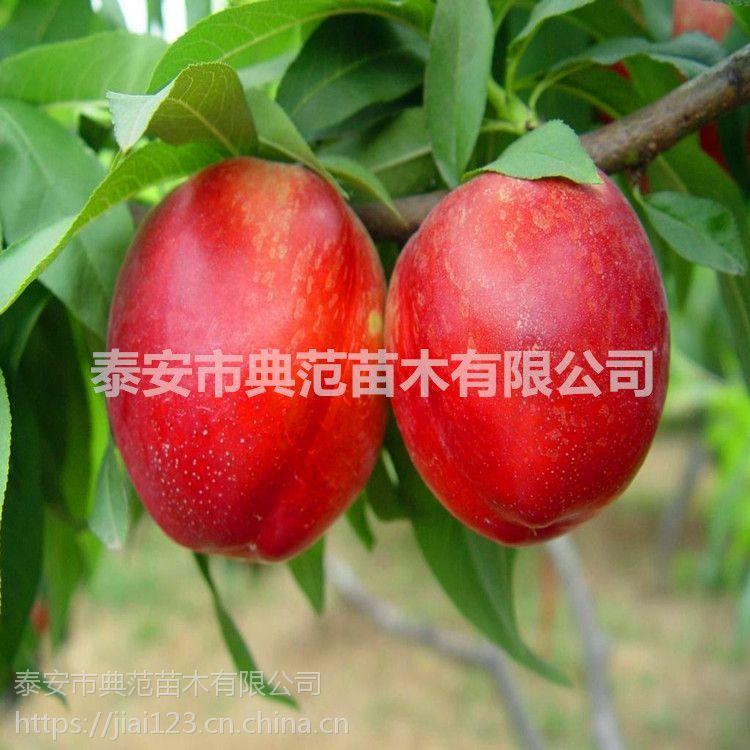 中油8号油桃苗价格 产地销售现挖现卖油桃树苗