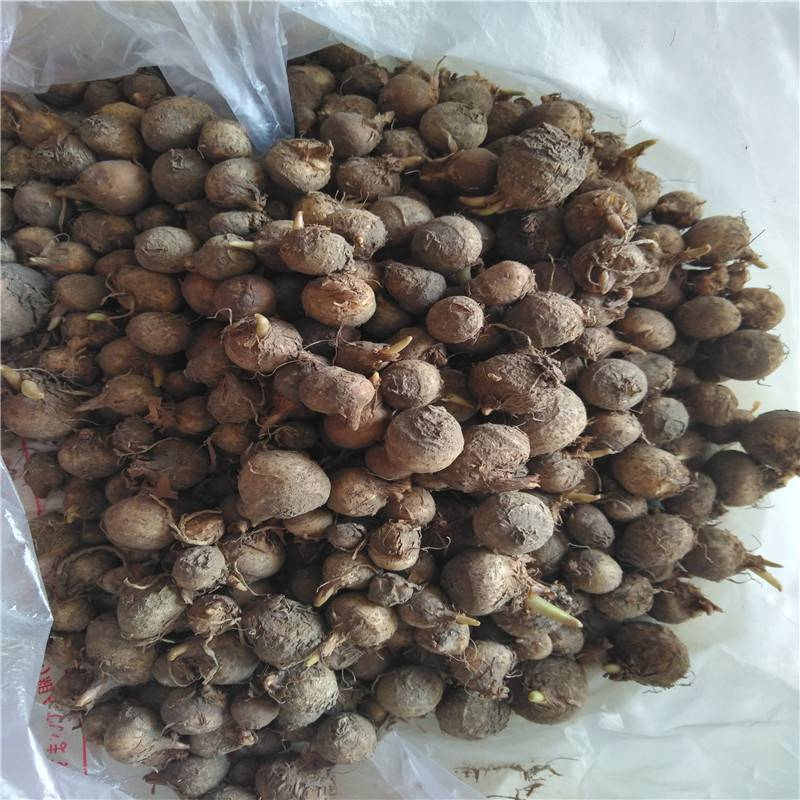 中药旱半夏种子一亩地多少公斤