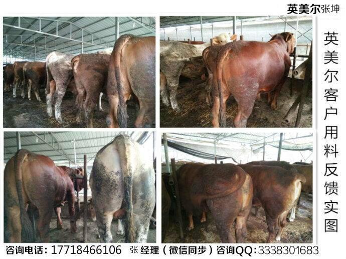肉牛催肥饲料配方牛10天催肥法
