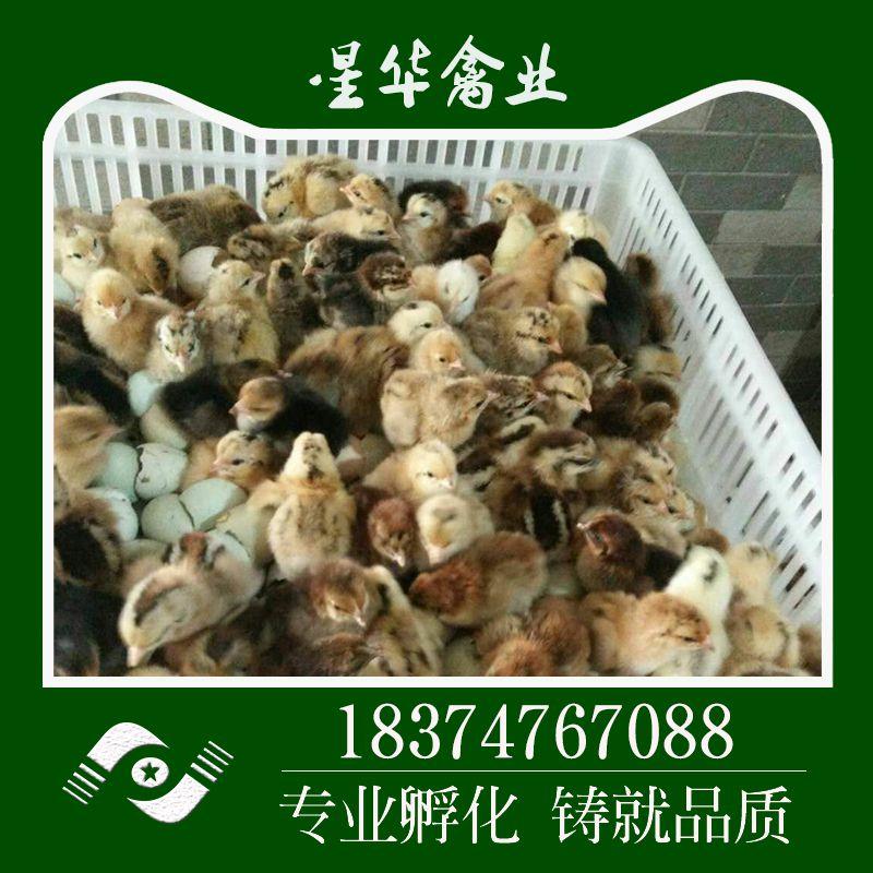 星华禽业直销高产绿壳蛋鸡苗 保证正品 扶贫 鸡苗
