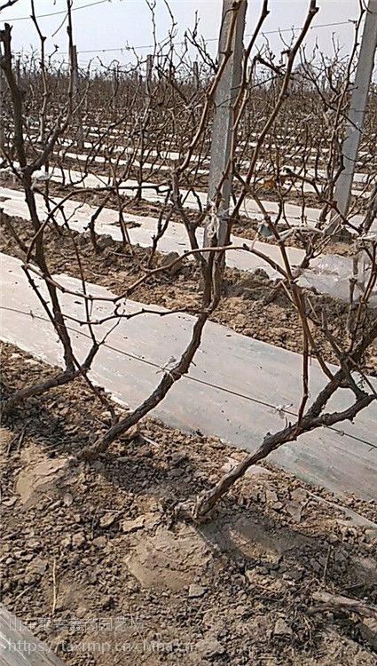 销售2公分以上葡萄苗价格