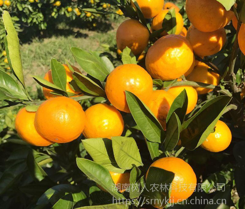 温州蜜桔中哪个品种糖度高 由良蜜桔苗价格
