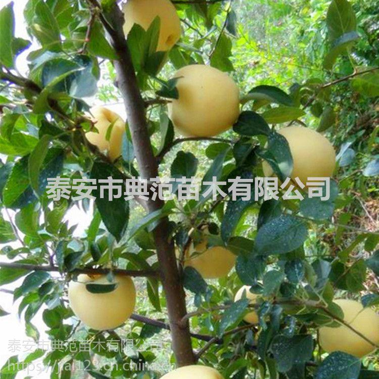 维纳斯黄金苹果苗价格 新品种苹果树苗介绍