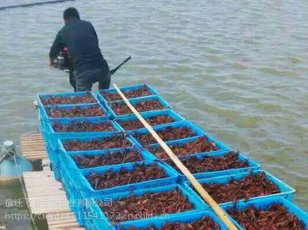 江苏哪里有卖小龙虾苗江苏龙虾苗养殖基地江苏小龙虾苗价格