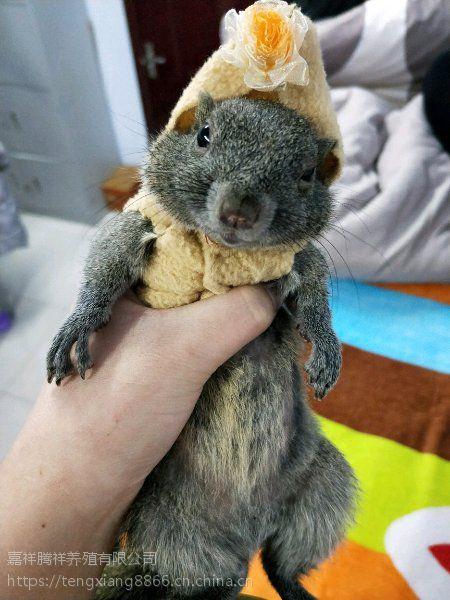 魔王松鼠养殖宠物松鼠批发哪里有养殖松鼠的