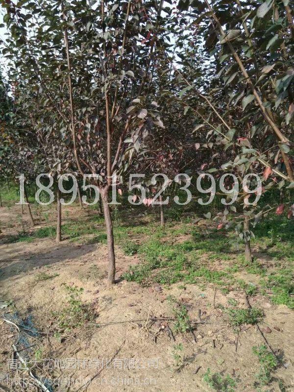 湖南地区地径8公分美人梅价格多少钱报价245元每棵风景树基地