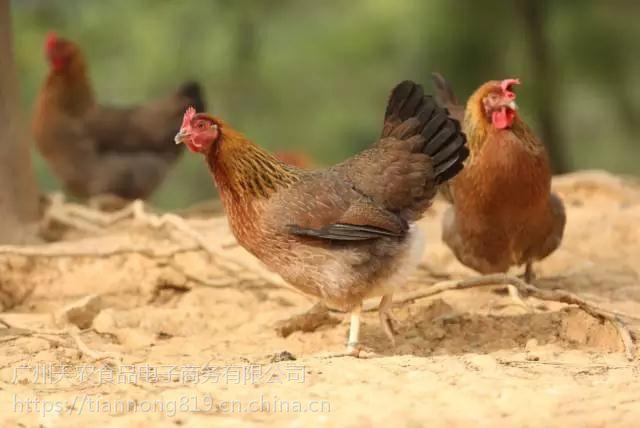 天农优品-清远麻鸡鸡翅的胶原蛋白含量丰富