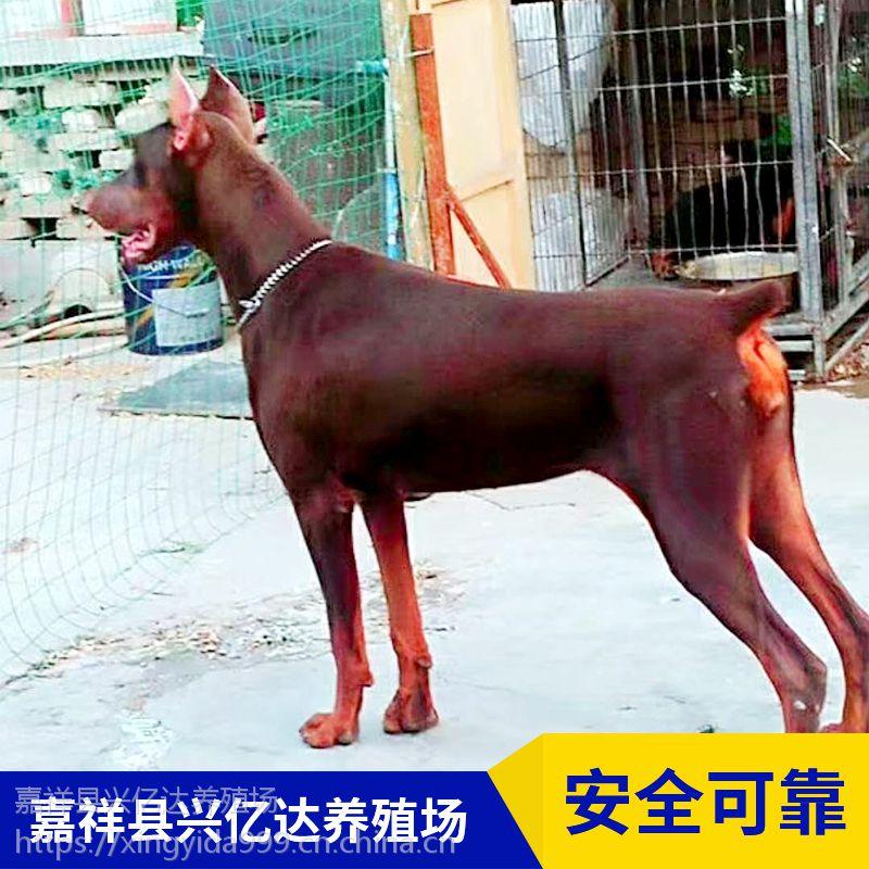 嘉祥兴亿达优质特种杜宾狗宝宝养殖场价格