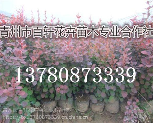 山东青州市红叶小檗幼苗低价批发,青州百轩花卉苗木