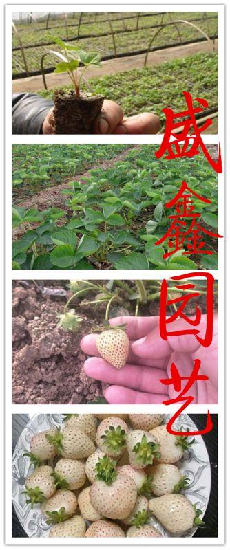 廊坊天香草莓苗病虫害防治