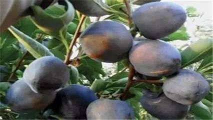黑柿子苗1-10公分哪里有 黑柿子苗批发