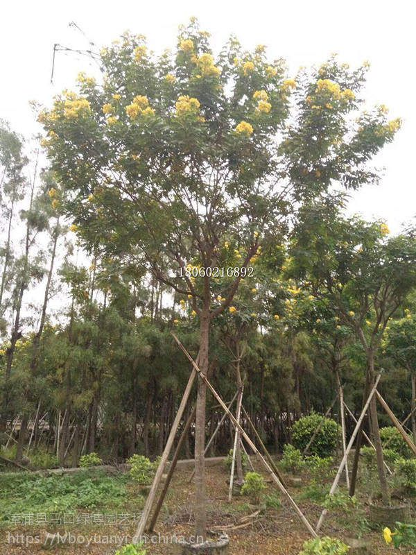 云南黄花槐工程绿化苗木,云南哪里卖黄花槐