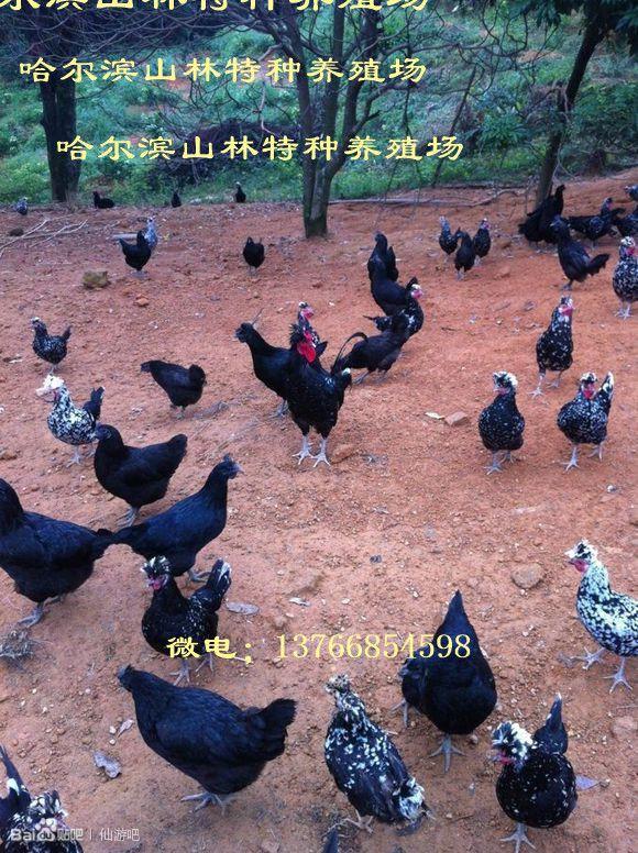 牡丹江五黑江绿壳蛋鸡养殖 鹤岗五黑绿壳蛋鸡养殖 佳木斯五黑绿壳蛋鸡养殖