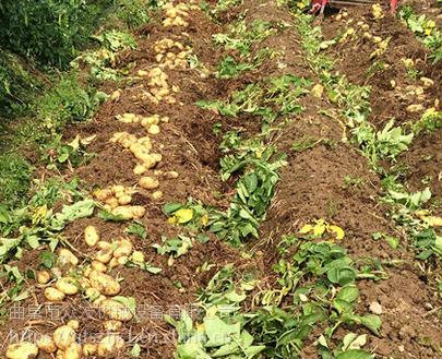 小型红薯挖掘机 小型红薯挖掘机价格 收获机