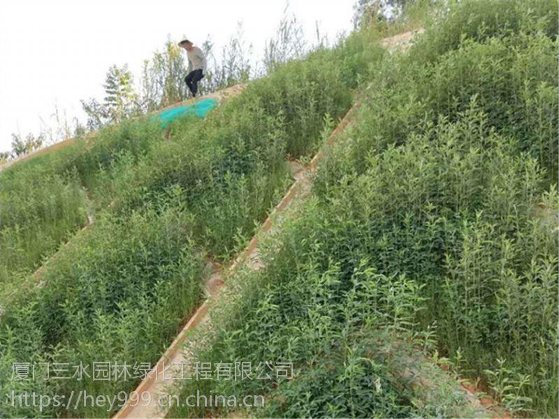 广西柳州高速边坡绿化草籽黑麦草狗牙根宽叶草批发