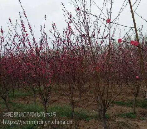 紫叶桃哪里便宜 哪里卖紫叶桃 江苏沭阳苗木基地有现货