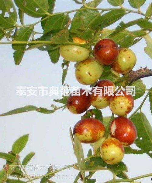 金丝枣树苗 金丝枣树苗价格 成活率高品种纯正