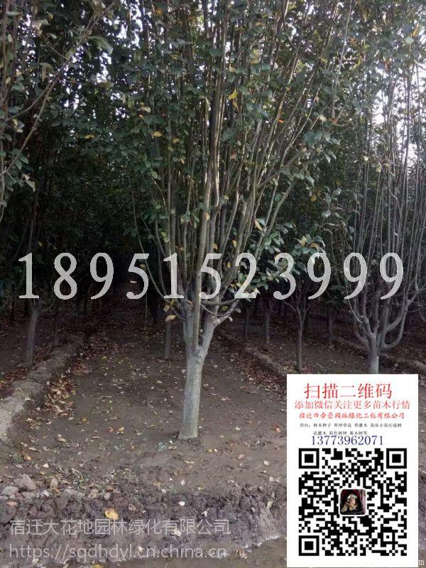 江苏地径7公分西府海棠价格多少钱一棵报价150元每棵