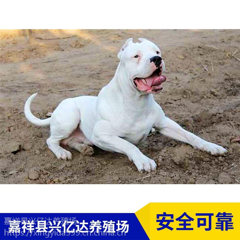 嘉祥县兴亿达幼年杜高犬幼崽养殖基地
