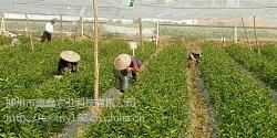 梧州桔子苗在哪里买到比较好
