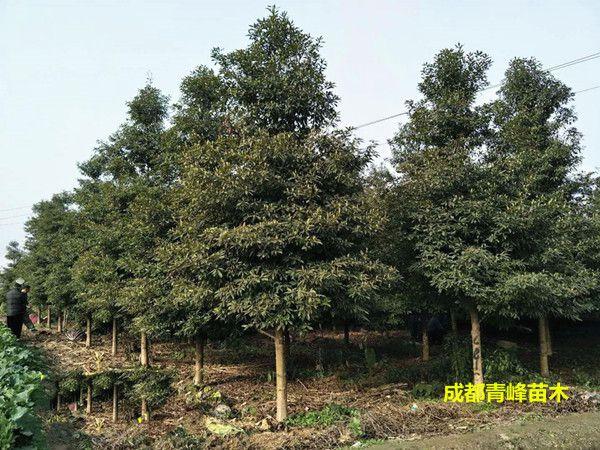 四川金丝楠木种植基地、四川金丝楠木直销